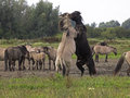 Konik horses a group of in the wild with their stallions fighting Stock Photos