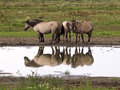 Konik horses a group of in the wild with water reflection Royalty Free Stock Photos