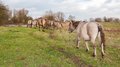 Konik horses in a rural landscape in autumn Royalty Free Stock Photo