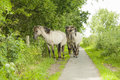 Konik horses semi wild polish walking on a bike path in the netherlands Royalty Free Stock Photography
