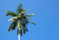 Konung coconuts i träd Fotografering för Bildbyråer