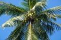 Konung coconuts i träd Arkivfoto
