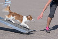 Kooikerhondje walking on teeter obstacle in agility competition Stock Image