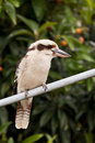 Kookaburra Fotos de Stock