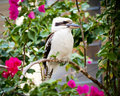 Kookaburra Royalty Free Stock Photo