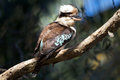 Kookaburra australian sitting on branch in tree Stock Photo