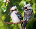 Kookaburra birds Royalty Free Stock Photo