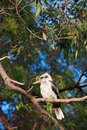 Kookaburra blue winged perched on a eucalyptus tree branch dacelo leachii Royalty Free Stock Photography