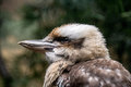Kookaburra at bronx zoo winter Stock Photos