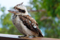 Kookaburra close up portrait of scruffy blue winged dacelo leachii Stock Image