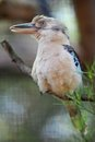 Kookaburra a close up shot of an australian Royalty Free Stock Image