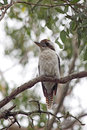 Kookaburra (Dacelo novaeguineae) Royalty Free Stock Photo