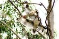 Kookaburra Fighting in Tree Royalty Free Stock Photo