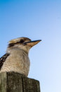 Kookaburra a large waits on a post in the australian bush Royalty Free Stock Photography