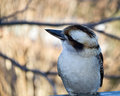 Kookaburra laughing with autumn beackground Royalty Free Stock Image