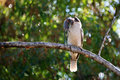 Kookaburra with mouse bird sitting on tree branch in beak Royalty Free Stock Image