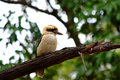 Kookaburra this picture was shot inside the royal national park of sydney a free look around Stock Photography