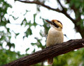 Kookaburra this picture was shot inside the royal park of sydney a free look around Royalty Free Stock Photos
