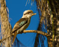 Kookaburra a sitting on the branch of an old palm tree Royalty Free Stock Photos