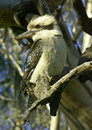 Kookaburra in tree Stock Photography