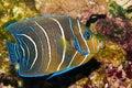 Koran Angelfish in Aquarium Royalty Free Stock Photo