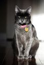 Korat Cat Stock Photo