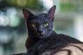 Korat cat at my home Stock Photos