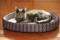 Korat Cat Resting on Bed Royalty Free Stock Photo