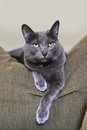 Korat Cat Resting on Sofa Royalty Free Stock Photo