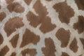Kordofan giraffe (Giraffa camelopardalis antiquorum). Skin textu Royalty Free Stock Photo