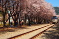Korea Beautiful Sakura in Train Station Stock Photography