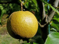 Korean Nashi Pear