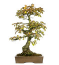 Korean hornbeam bonsai tree carpinus turczaninowii isolated on white Royalty Free Stock Photo