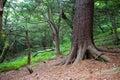 Korean pine on the island of Petrova Stock Photos
