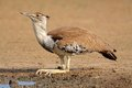 Kori bustard ardeotis drinking water at a waterhole kalahari desert south africa Stock Images