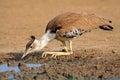 Kori bustard ardeotis drinking water at a waterhole kalahari desert south africa Stock Image