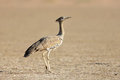 Kori bustard ardeotis kalahari desert south africa Royalty Free Stock Photos