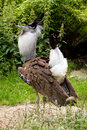 Kori Bustard (Ardeotis kori) Royalty Free Stock Photos