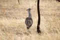Kori bustard ardeotis kori in the african savanna Royalty Free Stock Photo