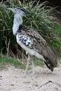 Kori bustard ardeotis kori the lives in africa s savannas Stock Photo