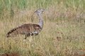 Kori bustard ardeotis kori walking in kruger national park south africa Stock Image