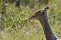 Kori bustard ardeotis kori walking in kruger national park south africa Stock Photography