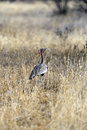 The kori bustard ardeotis is a large bird native to africa Stock Photo