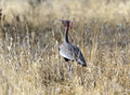 The kori bustard ardeotis is a large bird native to africa Stock Photos