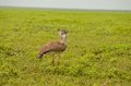 Kori Bustard Bird in the Serengeti Royalty Free Stock Photo