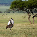 Kori Bustard Displaying Royalty Free Stock Photo