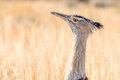 A kori bustard in the kgalagadi transfrontier park south africa it is biggest bird capable of flying Stock Images