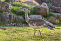 Kori bustard a large bird of the species of the family native to africa Stock Photo