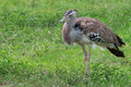 Kori bustard the largest flying bird Stock Photo