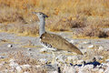 Kori Bustard - lateral view Stock Images